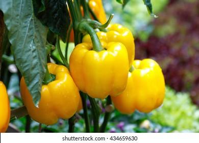 Yellow bell pepper (sweet pepper) on the pepper tree