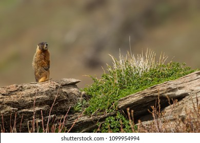 Yellow bellied Marmot,  in Yellowstone National Park Agnieszka Bacal.
