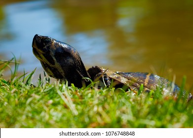 Yellow bellied slider turtle creeping up the bank of a pond to catch some sun rays in Arapahoe North Carolina.
