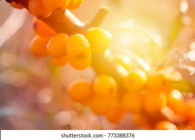 Yellow berries of sea buckthorn. Winter ingredients for warming tea from hippophae background
