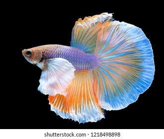 Yellow Betta fish spread tail-feathers, siamese fighting fish, betta splendens (Halfmoon betta) isolated on black background