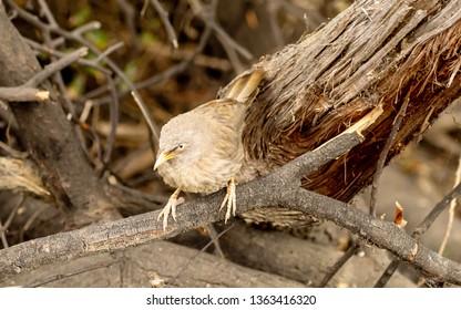 Yellow billed babbler (Argya affinis), Bharatpur Bird Sanctuary