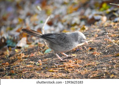 yellow billed babbler bird standing and looking for ant prey