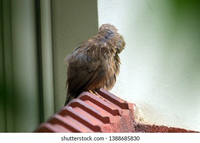 Yellow billed babbler couples on the roof