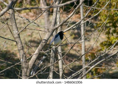 The yellow billed blue magpie or gold billed magpie (Urocissa flavirostris) is a passerine bird. Seen at Kedarnath wildlife sanctuary in Deoria lake forest during spring trek in Uttarakhand, India.