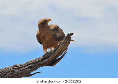Yellow Billed Kite - African Wild Bird Background - Eagles within Nature