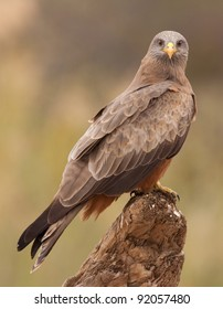 Yellow Billed Kite perched on a log with natural background
