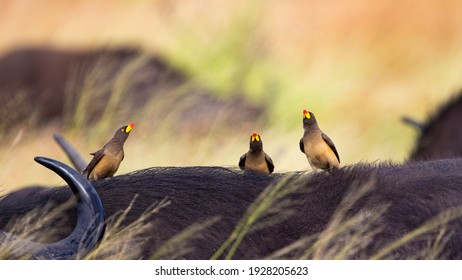 yellow billed oxpeckers on a buffalo
