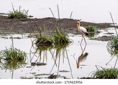 yellow billed stork bird in kruger park south africa