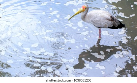 Yellow billed stork foraging in tropical pond. The Yellow-billed stork, also called the wood stork or wood ibis.