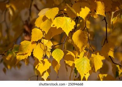 Yellow birch branches