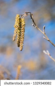 yellow birch catkins, close up background nature scene. Spring outdoor. Depth of field with blue sky. twig of birch tree with blooming catkin.