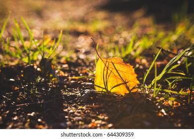 Yellow birch leaf on ground