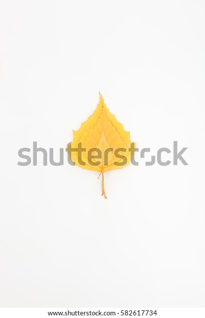 yellow birch leaves on white