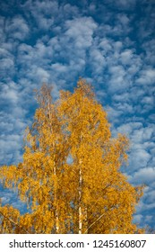 Yellow birch tree against cirrocumulus clouds at autumn day