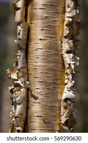 Yellow Birch Tree with peeling bark in afternoon light close up