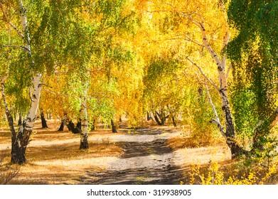 Yellow birch trees in autumn forest. Beautiful autumn landscape, fall scene.