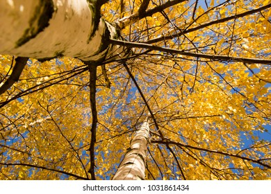 Yellow birch trees. Autumn in Russia.