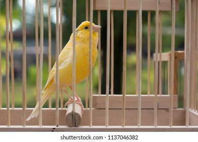 Yellow bird canary in a cage