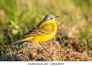 Yellow Bird in the Grass, Western Yellow Wagtail (Motacilla flava)   Blue-headed Wagtail.