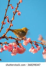 The yellow bird (oriental white-eye) on the pink cherry blossom