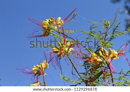 Yellow Bird Paradise Flowers Latin Caesalpinia Stock Photo Edit Now