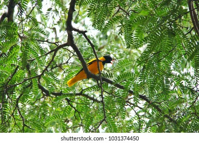 Yellow bird was singing on the branch of tamarind tree.