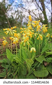 Yellow bird's-eye primrose in forest