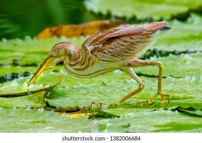 Yellow Bittern, birds of Thailand