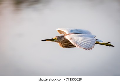 A Yellow Bittern flies over a pond in Hithadhu, Maldives