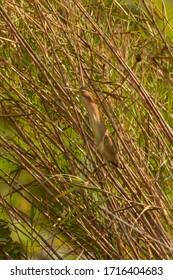 Yellow Bittern (Ixobrychus sinensis) in southern Asian wetland