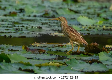 Yellow bittern on water lily leaves in pond - bird of Singapore