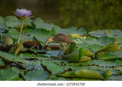 Yellow bittern on water lily - bird of Singapore