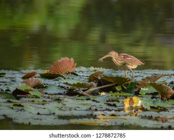 Yellow bittern with shrimp in beak on water lily pond - bird of Singapore