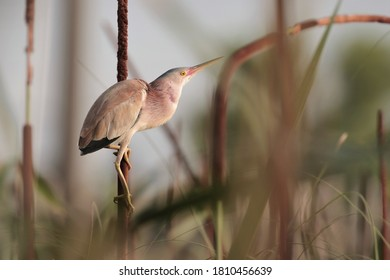 The yellow bittern is a small bittern. It is of Old World origins, breeding in the northern Indian Subcontinent, east to the Russian Far East, Japan and Indonesia.