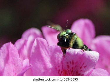 yellow and black bumble bee on a pink-purple azalea flower