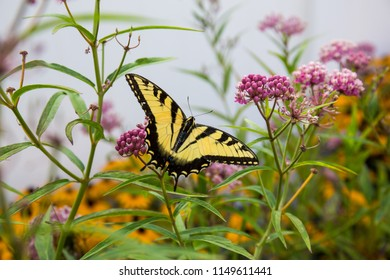 Yellow and black butterfly feeding on pink milkweed in summer garden