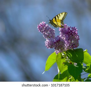 yellow and black butterfly on lilac blooms with blue background