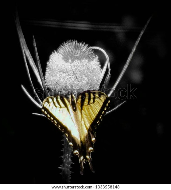 yellow and black butterfly on thistle with background in black and white