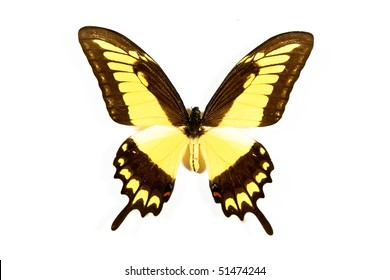 Yellow and black butterfly Papilio thoas isolated on white background