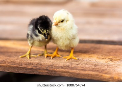 Yellow and black chicks on the wooden table.