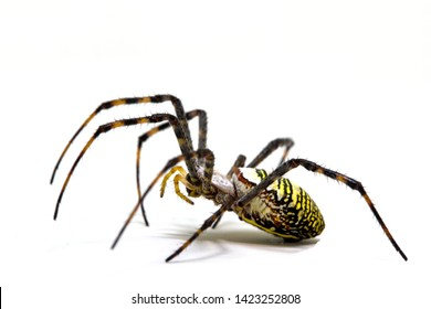 Yellow black crab spider on white background. Tropical insect hunter spider closeup photo. Exotic spider detailed macrophoto. Striped insect. Creepy animal of tropic jungle. Asian arachnid species