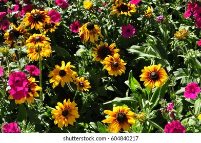Yellow Black Eyed Susan flowers growing in a garden with bright pink Petunias