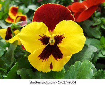 Yellow and Black Flower Pansies closeup of colorful pansy flower, pot plant.