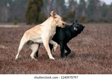 Yellow and Black Labrador Retriever bitches are playing