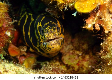 Yellow black moray eel hiding between corals. Tropical marine life, predator on the reef. Underwater animal photography, scuba diving on the coral reef. Colorful aquatic wildlife.