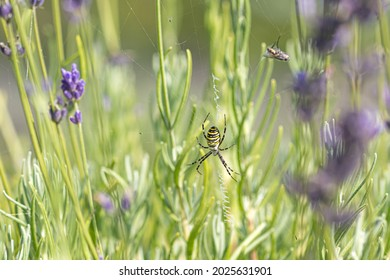Yellow and black Orb Spider, Orb Web Spider, Orb-Weaver Spider or Wasp Spider, Argiope bruennichi, Lavender Flowers, close up with fly