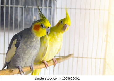 Yellow and black parrots corella is sitting on a swing in the cage