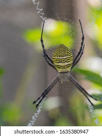 A yellow black spider on its web. Argiope bruennichi is also called a zebra, tiger, silk ribbon, wasp spider in front of a blurred nature background.