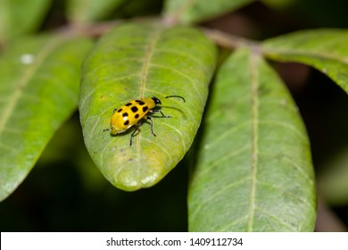 Black and Yellow Beetle Images, Stock Photos & Vectors
